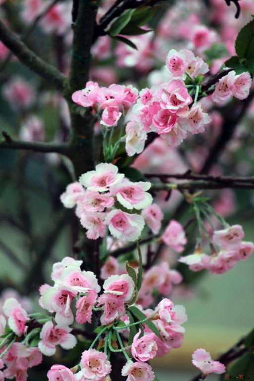 Paris-jardin-japonais-sakura