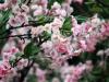 Paris-jardin-japonais-cerisier-a-fleur