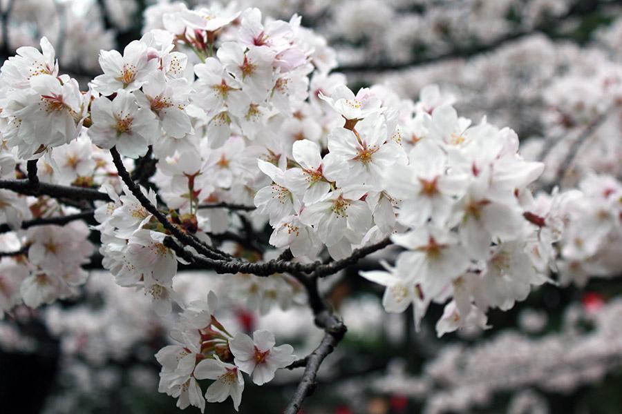 komatsu-parc-rojyou-matsuri-saison-sakura-branche-cerisiers-gros-plan