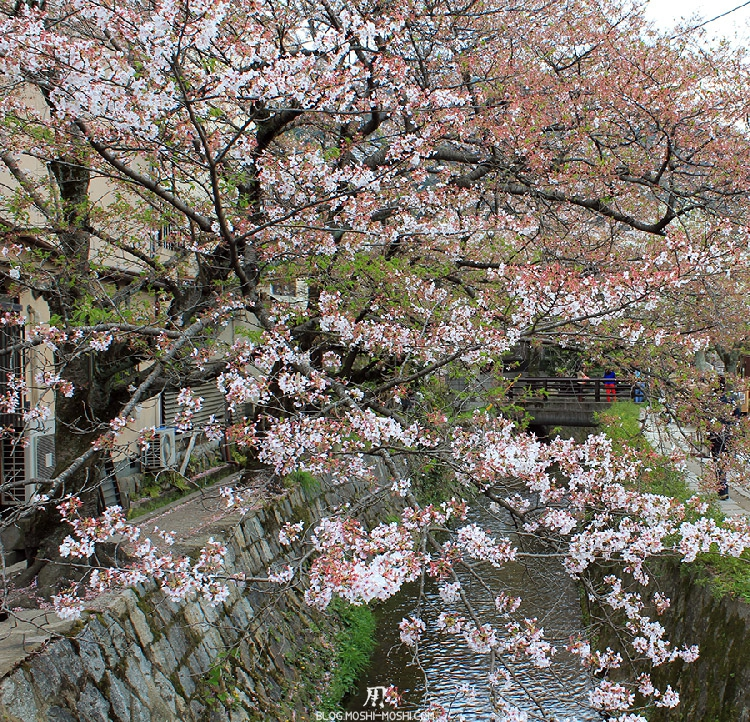 ginkaku-ji-temple-argent-kyoto-saison-sakura-dernier-cerisier-en-fleur