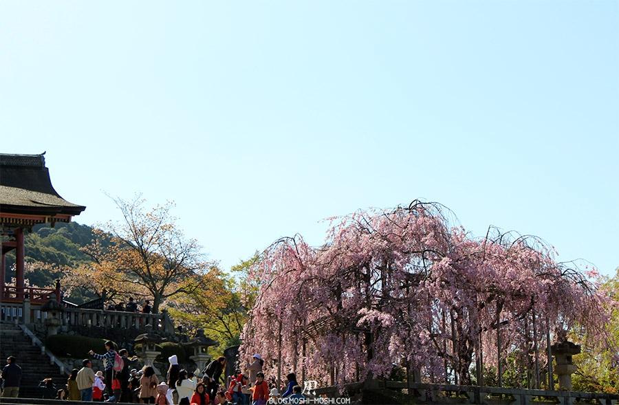 kiyomizudera-sanctuaire-kyoto-saison-sakura-cerisier-tombant