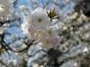 temple-kodai-ji-kyoto-saison-sakura-fleur-cerisier-gros-plan