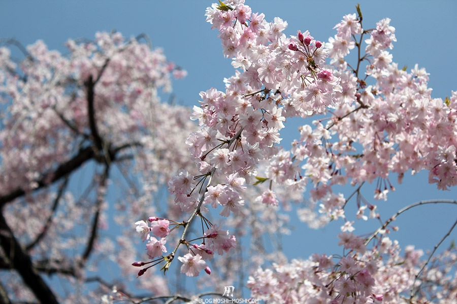 nijo-jo-chateau-kyoto-saison-sakura-cerisier-rose-gros-plan