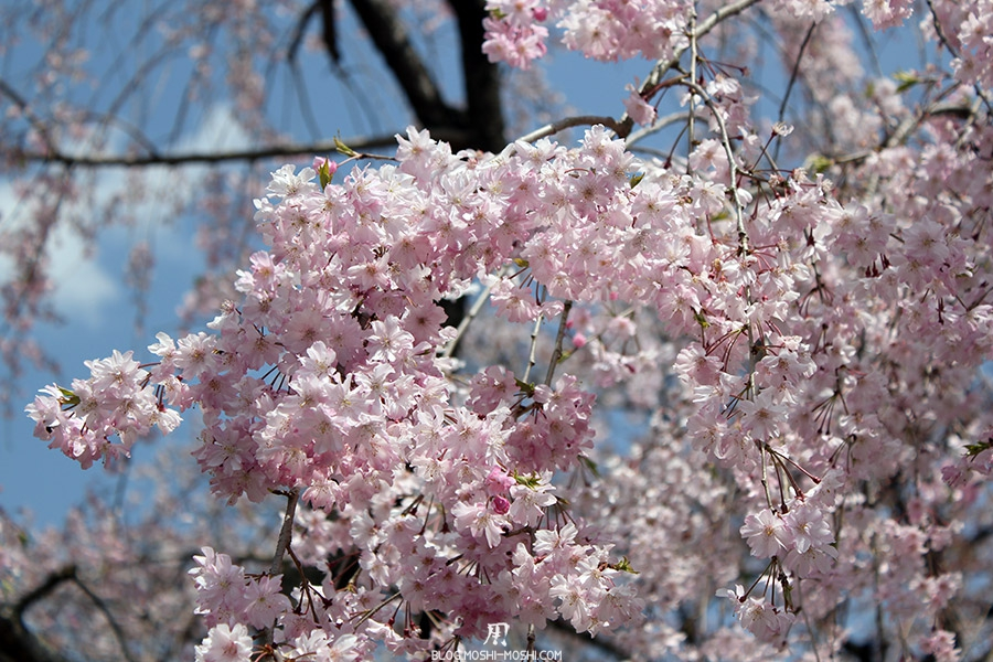 nijo-jo-chateau-kyoto-saison-sakura-fleurs-cerisiers-japonais-gros-plan
