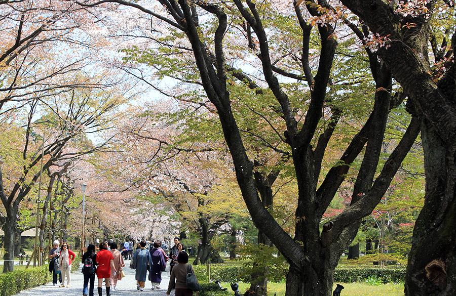 nijo-jo-chateau-kyoto-saison-sakura-jardin-hanami-cerisier-matsuri