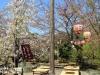 parc-maruyama-kyoto-saison-sakura-coin-hanami-fleurs-cerisiers-blanches