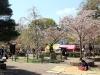 parc-maruyama-kyoto-saison-sakura-place-reservee-sous-cerisier-hanami