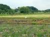 jardin-japonais-kairaku-en-cote-champs-fleurs-cygne-bebe-riviere-fleurs