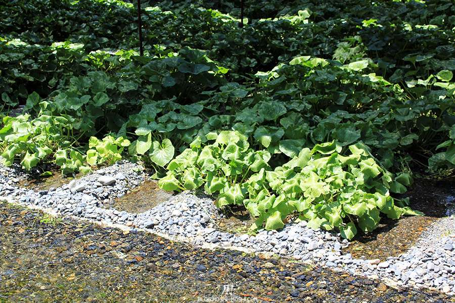 Nagano-plantation-wasabi-ferme-Wasabi-densite-impeccable
