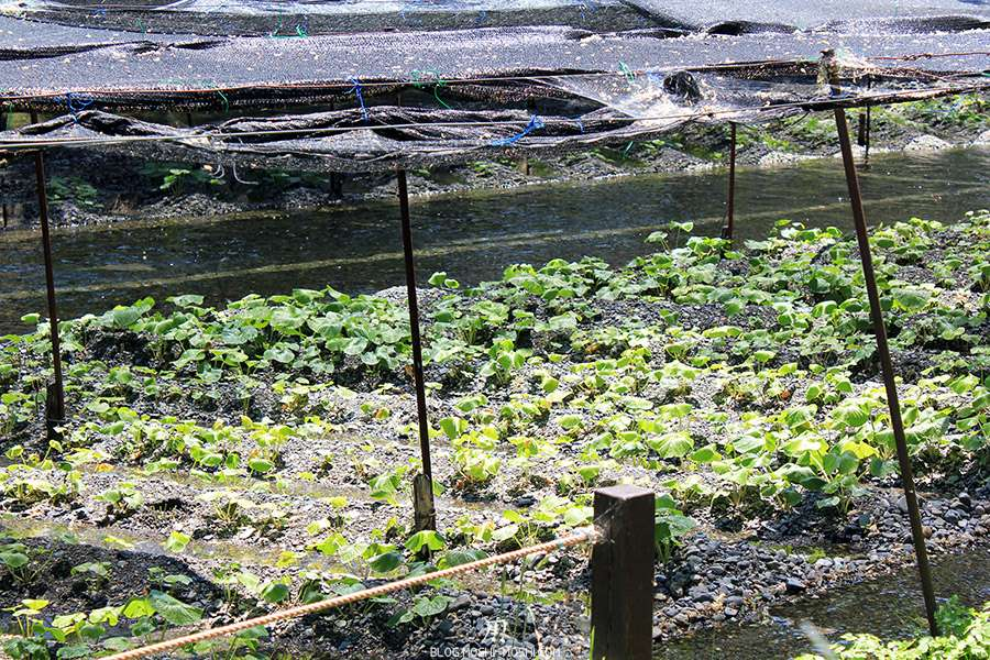 Nagano-plantation-wasabi-ferme-Daio-Wasabi-en-pousse