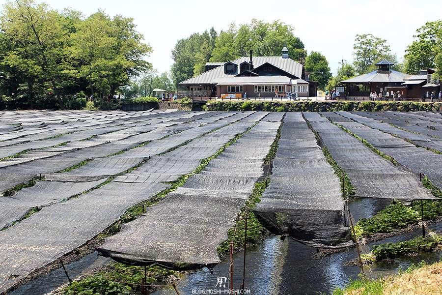 Nagano-plantation-wasabi-ferme-Wasabi-etendue-bache-restaurant