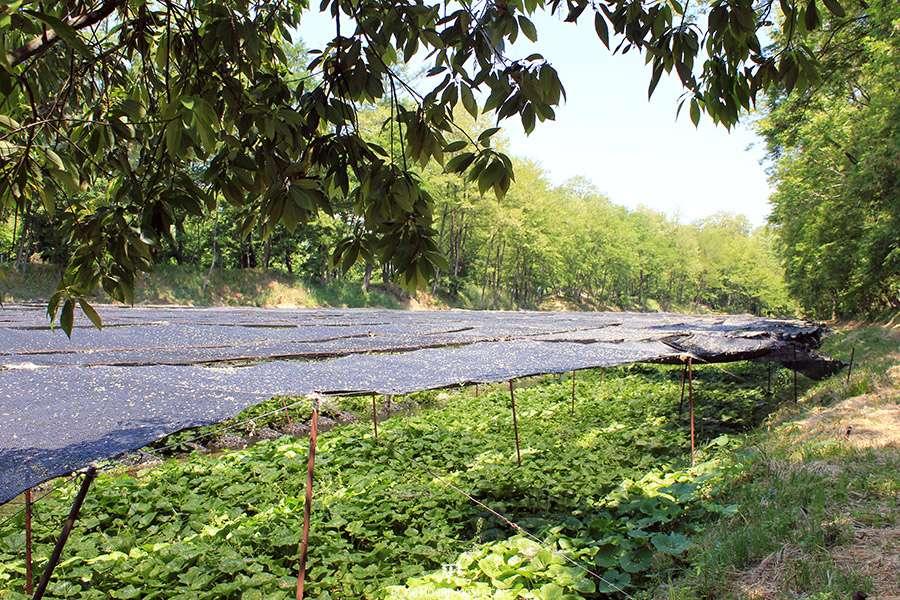 Nagano-plantation-wasabi-ferme-Daio-Wasabi-perte-vue