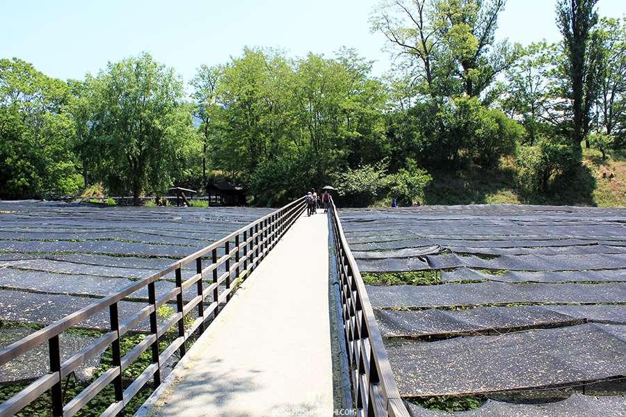 Nagano-plantation-wasabi-ferme-Daio-Wasabi-pont-surplomb