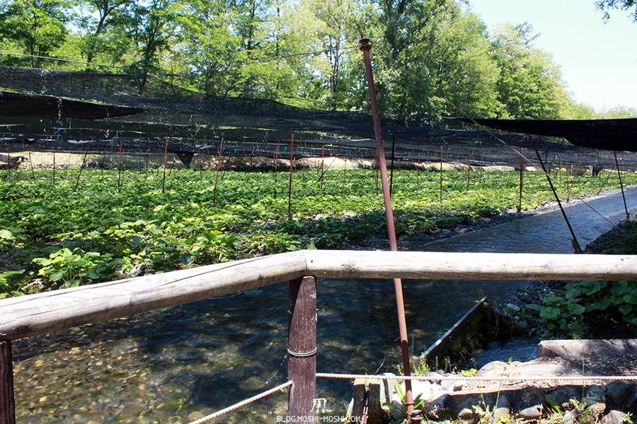 Nagano-plantation-wasabi-ferme-Daio-Wasabi-repos-pieds-eau-tranquille
