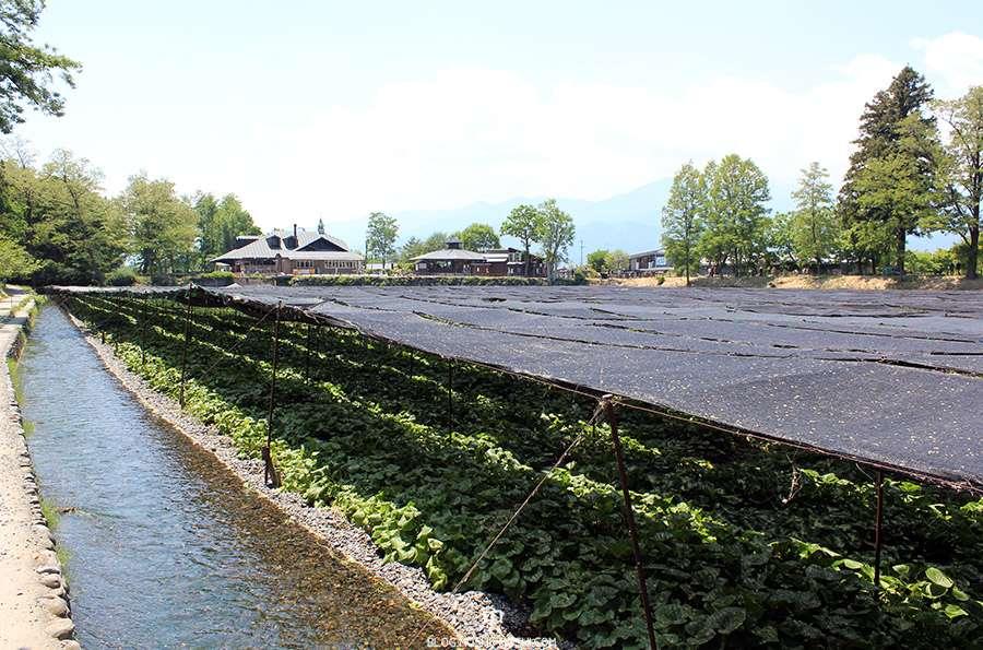 Nagano-plantation-wasabi-ferme-Daio-Wasabi-riviere-long-chemin