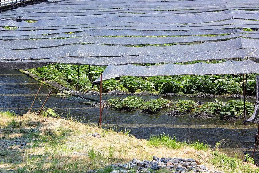 Nagano-plantation-wasabi-ferme-Daio-Wasabi-riviere-traversant-plants