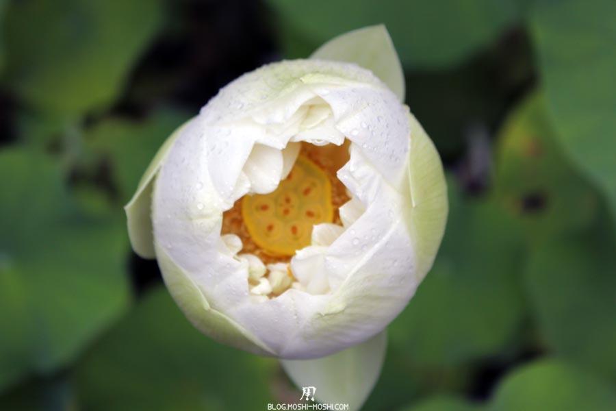temple-toshodai-ji-Nara-fleur-lotus