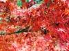 okayama-jardin-koraku-en-saison-momiji-feuille-momiji-gros-plan