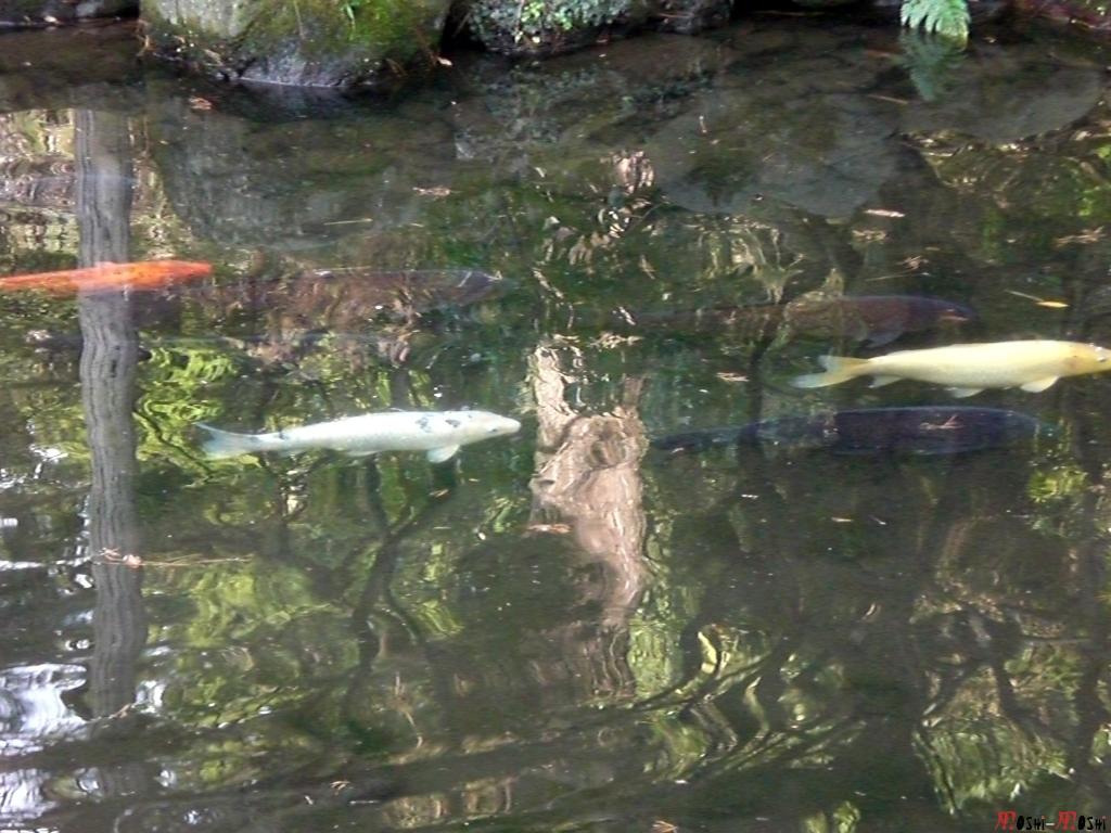 sanctuaire-oyama-Kanazawa-attaque-des-carpes-koi