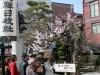 takayama-sanno-matsuri-attente-defile-sous-sakura