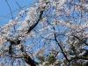 takayama-sanno-matsuri-sakura
