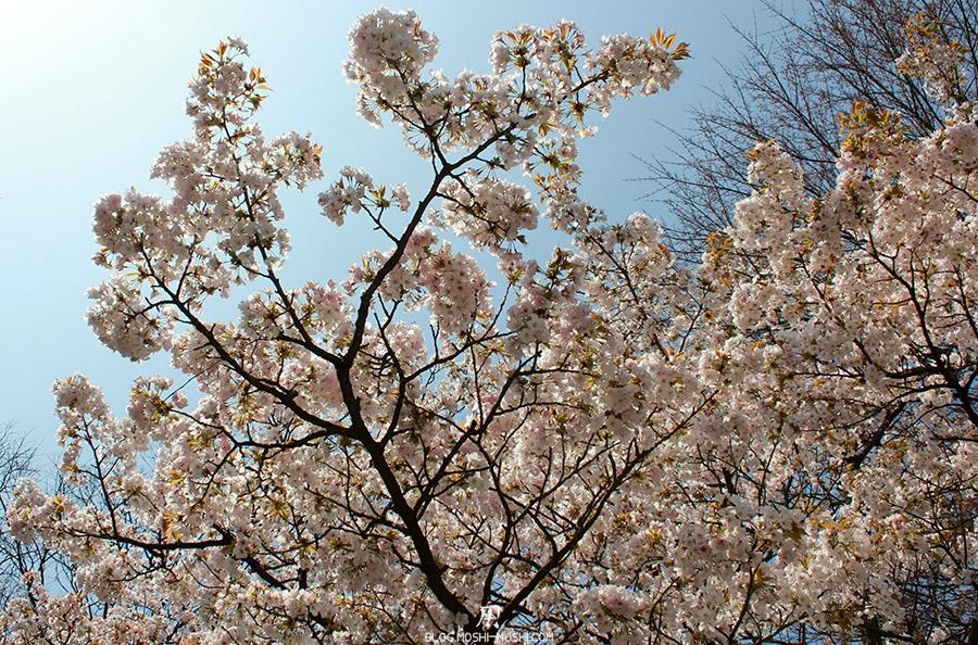 journee-kanazawa-chateau-fleurs-cerisier