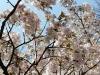 journee-kanazawa-chateau-fleurs-cerisier-gros-plan