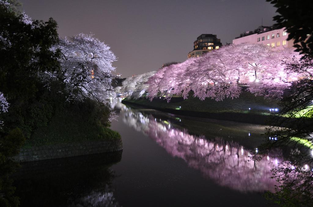 Sakura by night, à Tokyo (Photo et crédits Marufish, Flickr)